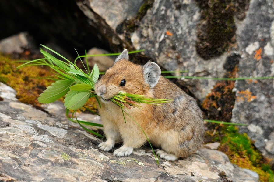 Wildlife Viewing - Pika